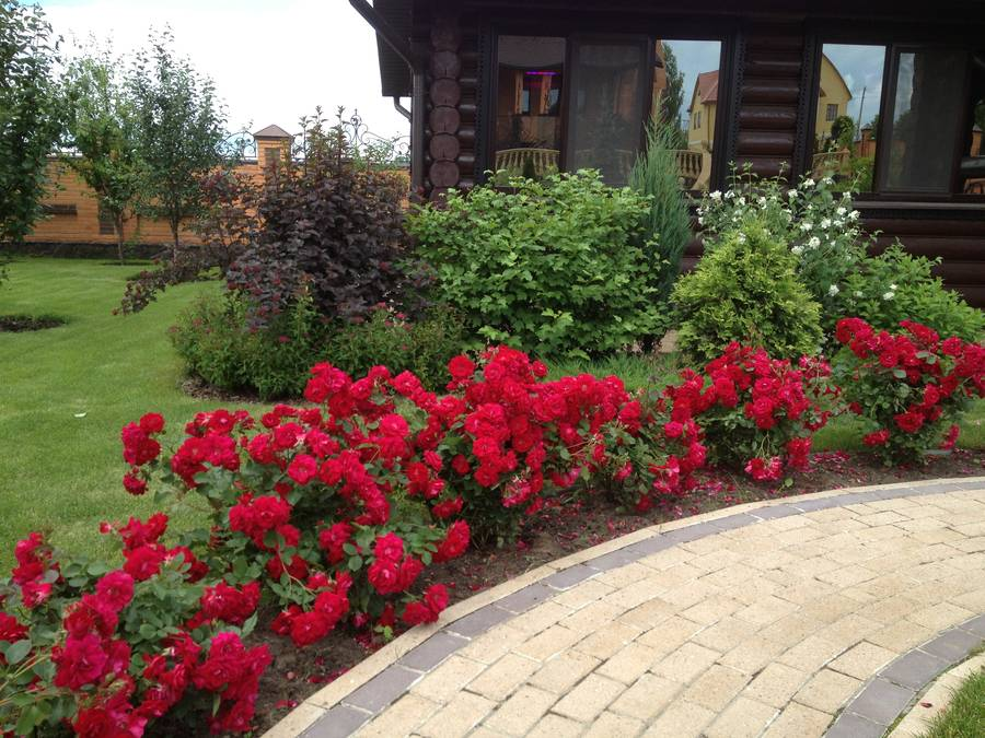 Уход за бордюрными розами в домашних условиях 926